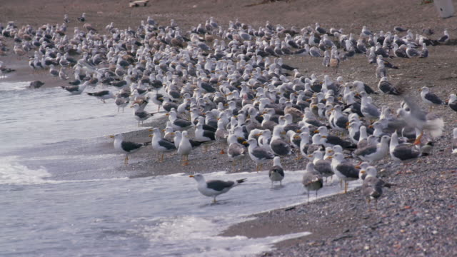 stockvideo's en b-roll-footage met lesser black-backed gulls on beach, playa de almayate bajamar, velez-malaga, spain - grote groep dieren
