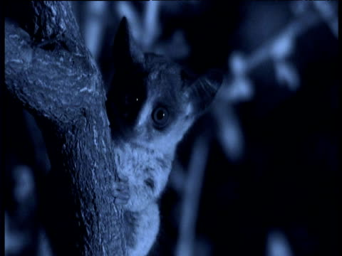 lesser bush baby sits on branch, ears twitching alertly, east africa - squiggle stock videos & royalty-free footage