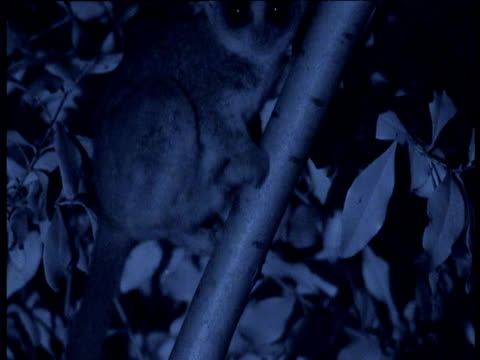 lesser bush baby washes its feet in its own urine to leave scent trail, east africa - 泌尿器系点の映像素材/bロール