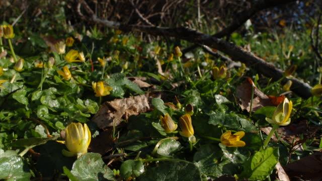 T/L Lesser Celandines (Ranunculus ficaria) opening, ground level, UK