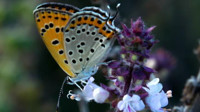 lesser fiery copper butterfly - 動物の色点の映像素材/bロール