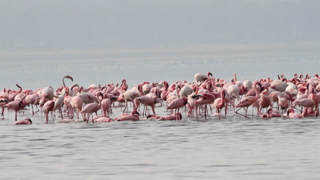 lesser flamingo (phoenicopterus minor) bathing, eating, walking in shallow water - audio available stock videos & royalty-free footage