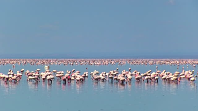 lesser flamingo in lake natron - tanzania - flamingo bird stock videos & royalty-free footage