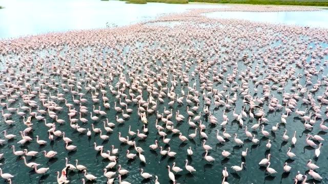 Lesser Flamingoes on a lake near Kimberley South Africa