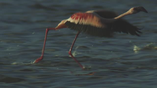 slomo pan lesser flamingoes running to take off - flamingo bird stock videos & royalty-free footage