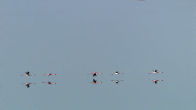 lesser flamingos (phoeniconaias minor) fly over lake logipi, kenya - formationsfliegen stock-videos und b-roll-filmmaterial
