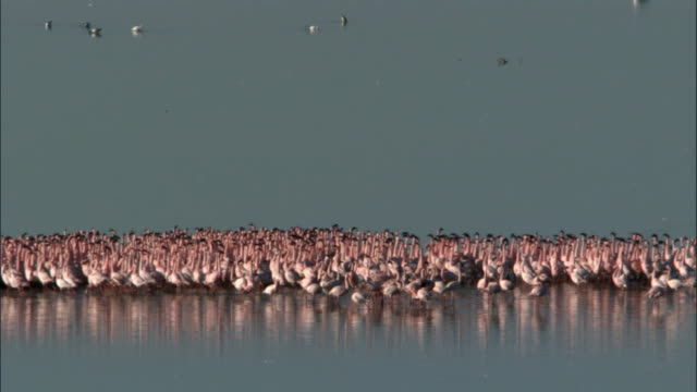stockvideo's en b-roll-footage met lesser flamingos (phoeniconaias minor) on lake logipi, kenya - vogelzwerm