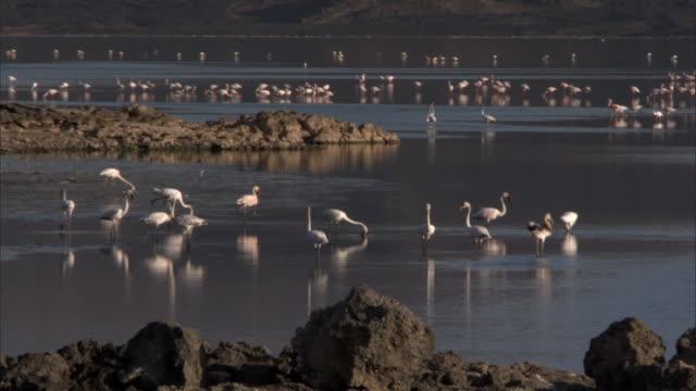 Lesser flamingos (Phoeniconaias minor) on lake Logipi, Kenya