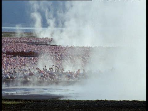 lesser flamingos on steaming lake, kenya - vattenfågel bildbanksvideor och videomaterial från bakom kulisserna