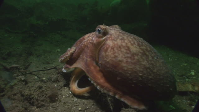 Lesser Octopus (Eledone cirrhosa). Arran. Underwater, North Atlantic