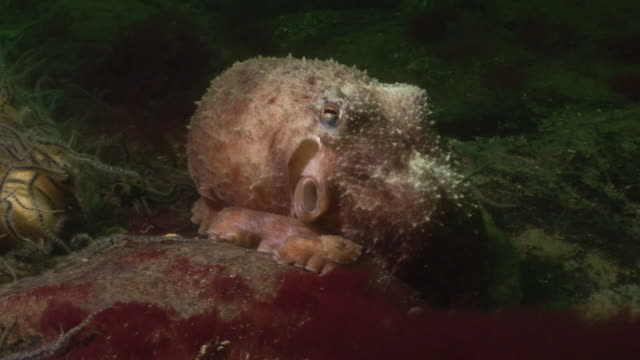 Lesser Octopus (Eledone cirrhosa). Arran. Underwater, North Atlantic