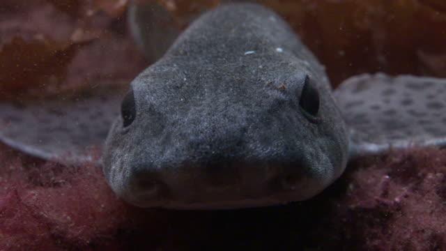 Lesser spotted dogfish (Scyliorhinus canicula). Arran. Underwater, North Atlantic