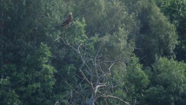 vídeos y material grabado en eventos de stock de águila moteada menor (clanga pomarina) sentada en el árbol, bielorrusia - the nature conservancy