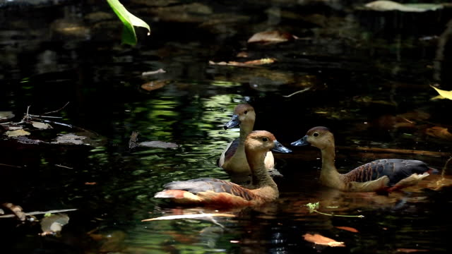 Lesser Whistling Duck Mating in Pond