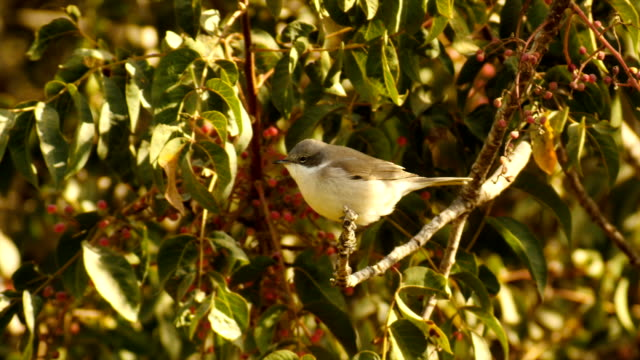 lesser whitethroat (sylvia curruca), perching on tree - warbler stock videos & royalty-free footage