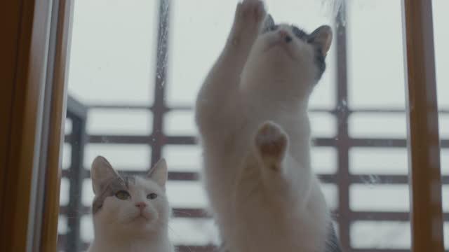 中に入れて下さい!家の中で欲しい猫。 - ショートヘア種の猫点の映像素材/bロール