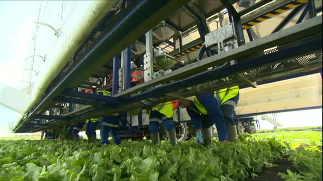 lettuce being picked, sorted and packaged - vegetable stock videos & royalty-free footage