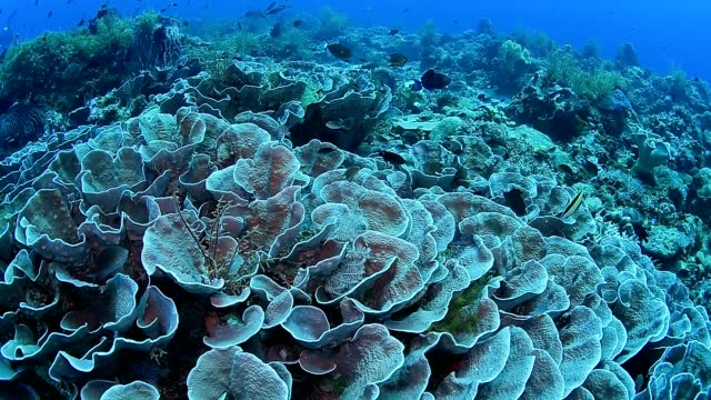 Lettuce coral and Marine life on healthy coral reef in Wakatobi National Park, Indonesia.