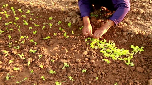 vídeos de stock, filmes e b-roll de alface cultivar - orgânico