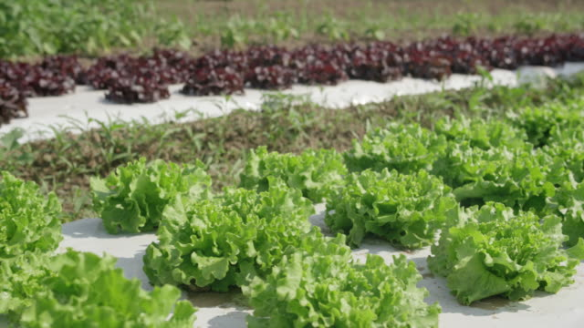ds lettuce grown with protective fabric - organic farm stock videos & royalty-free footage