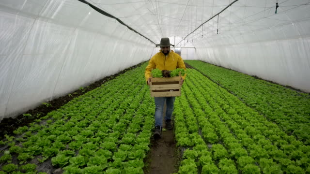lettuce harvesting - crate stock videos & royalty-free footage