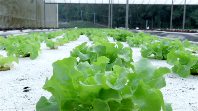 lettuce in greenhouse hydroponics - plant stem stock videos & royalty-free footage
