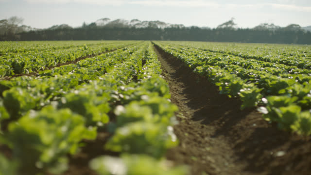 vídeos de stock, filmes e b-roll de cu of lettuce in rows - agriculture