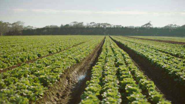 cu of lettuce in rows - dolly shot stock videos & royalty-free footage