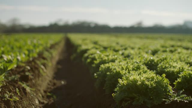 cu of lettuce in rows - cucina vegetariana video stock e b–roll
