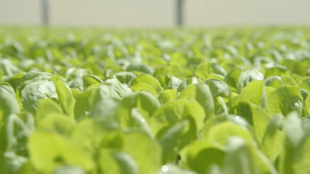 lettuce plant nursery at a greenhouse close-up - greenhouse stock videos & royalty-free footage
