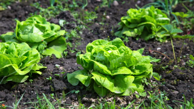 DOLLY: Lettuce