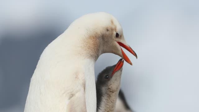 Leucistic Gentoo Penguin feeding chick