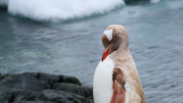 leucistic gentoo penguin - antarctic peninsula stock videos & royalty-free footage
