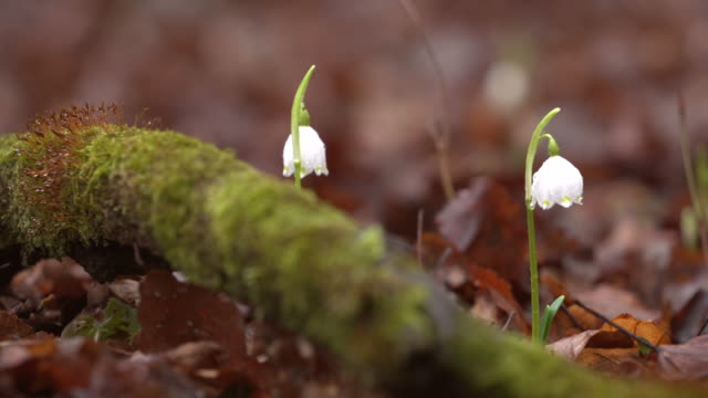leucojum vernum (fiocco di neve primaverile) - muschio video stock e b–roll