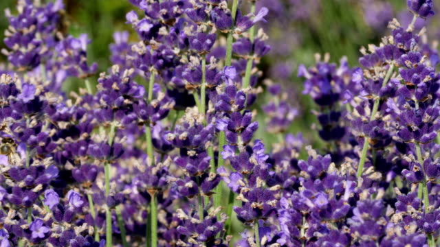 levander field in provence, france - herb stock videos & royalty-free footage