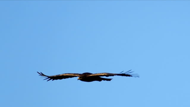 vídeos y material grabado en eventos de stock de levant sparrow hawk soaring in the sky, israel - halcón