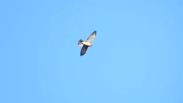 levant sparrow hawk soaring in the sky, israel - eagle bird stock videos and b-roll footage