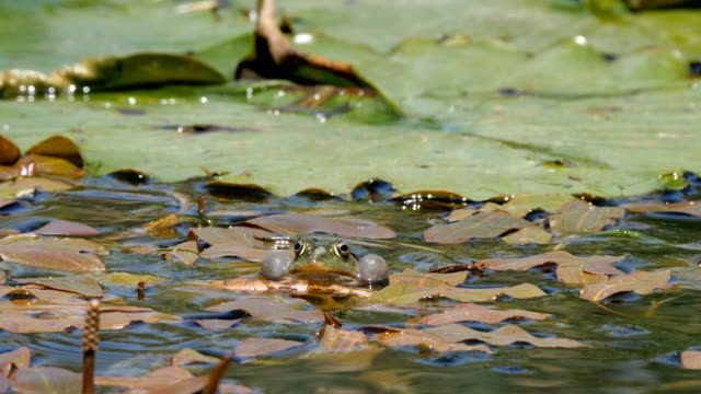 levant water frog (pelophylax bedriagae) in a pond with lilies - pond stock videos & royalty-free footage