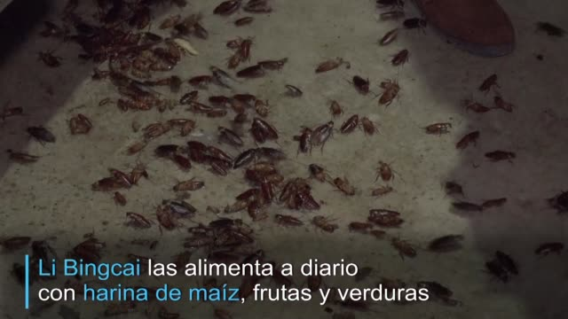 li bingcai agricultor de la provincia de sichuan alimenta a diario a millones de cucarachas que terminaran como manjar - diario stock videos and b-roll footage