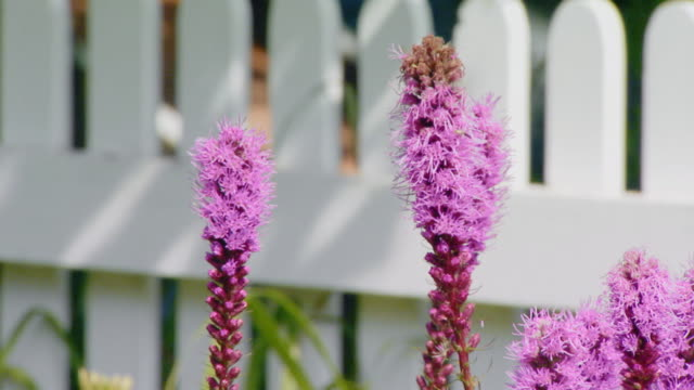 liatris spicata or gayfeather a perennial flower - picket fence stock videos and b-roll footage