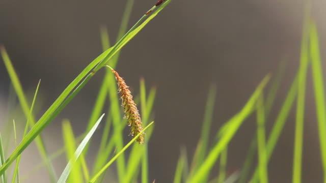 Libelloides longicornis resting on grass leafs HD