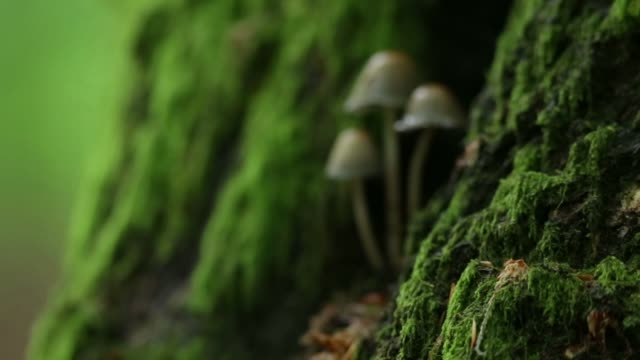 liberty cap mushrooms (psilocybe semilanceata) grow out of rotting stump - ceppaia video stock e b–roll