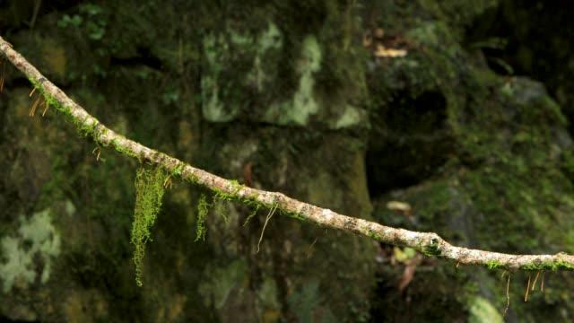 Lichen Growing On Rainforest Vine