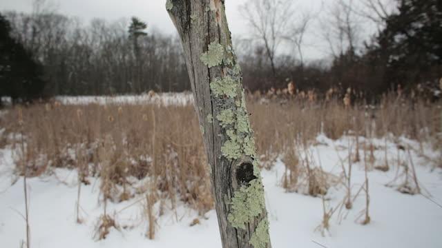 lichen on a dead tree in foreground, snowy winter landscape background - 地衣類点の映像素材/bロール