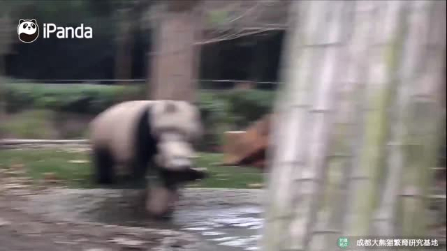 life can be a drag for these little panda cubs when their moms decide it's time to leave the playground and go home. check out these hilarious... - animal family stock videos & royalty-free footage