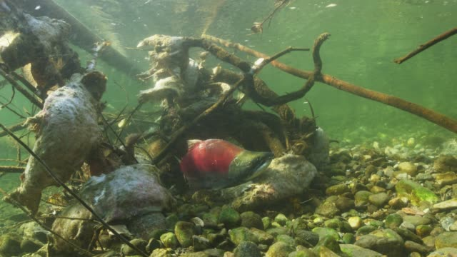 life cycle of salmon run in british columbia, slow motion - life cycle stock videos & royalty-free footage