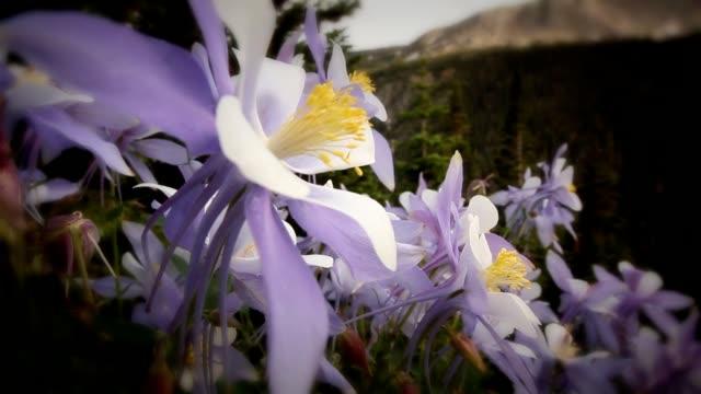 A light breeze blows through lavender Columbine flowers growing on a mountainside.