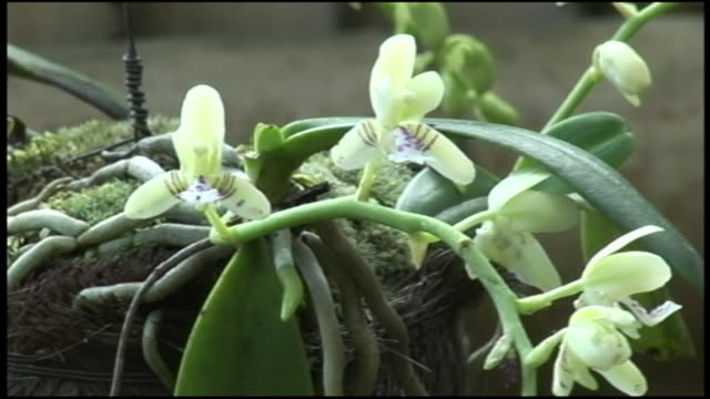 A light breeze sways a hanging basket of Nago orchids.