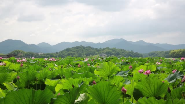 a light breeze sways the leaves of sacred lotus plants on the west lake,hangzhou,china - sacred lotus stock videos and b-roll footage