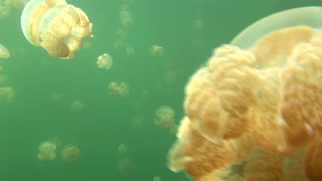Light filters underwater around a swarm of jellyfish. Available in HD.